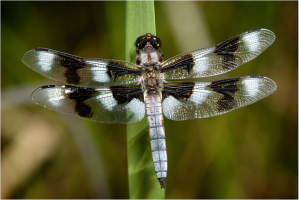 Eight-spotted Skimmer, perching. Photo © Ray Bruun