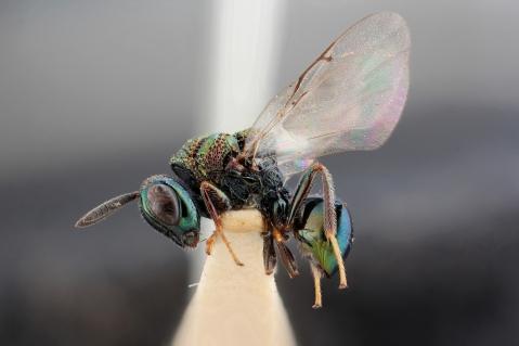 Perilampus aeneus Rossius 1790 - Perilampidae