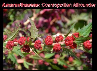 amarantaceae