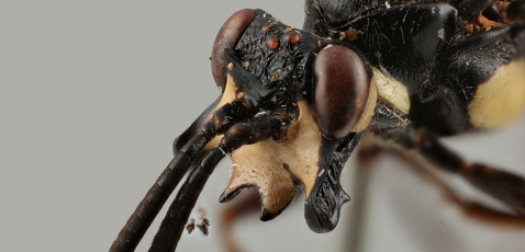 genaemirum-phacochoerus-head-news-1