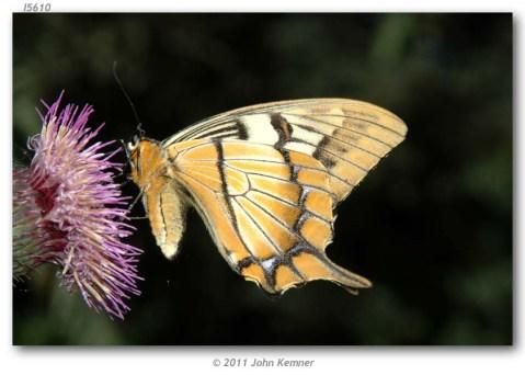 Papilio_esperanza_MEXICO_OAXACA_kemner_2