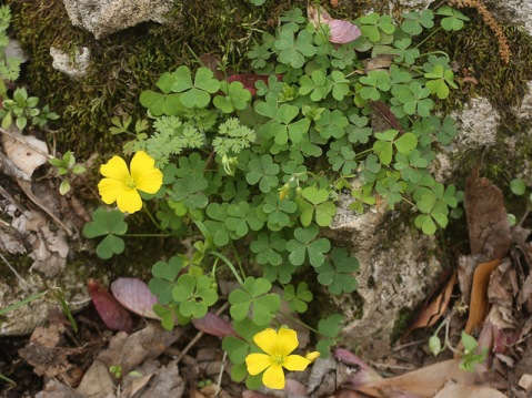 Oxalis_macrantha_Florida_Caverns_SP_27Feb17_c_resize