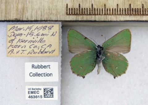 EMEC463615 Callophrys dumetorum